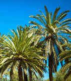 Palm trees on the blue sky background Stock Images