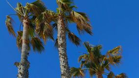 Palm trees on blue sky background. Three palm trees and blue sky in hot summer day stock video