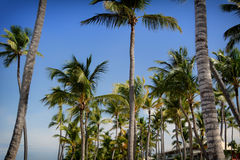 Palm trees with blue sky Royalty Free Stock Photos