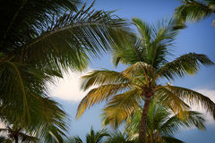 Palm trees with blue sky Stock Photography
