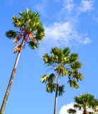 PALM TREES AND BLUE SKY. Palm trees in Bali Indonesia with a blue sky and some light clouds royalty free stock photo