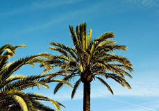 Palm Trees on Blue Sky Royalty Free Stock Image