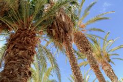 Palm trees on the Canary Islands. Palm trees and blue sky on the Canary Islands Royalty Free Stock Photography
