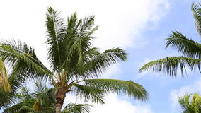 Palm trees with blue sky and clouds. Moving in summer stock video footage