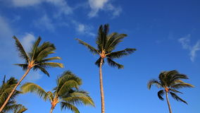 Palm Trees and Blue Sky with Clouds stock footage