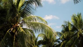 Palm trees and blue sky. Coconut palm tree against blue sky. travel concept. tropical coast and frame coconut tree stock video footage