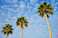Palm trees before blue sky with few clouds Stock Photo