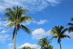 Palm trees on blue sky Stock Photos