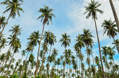 Palm Trees with Blue Sky. Jungle palm trees in the blue sky Royalty Free Stock Photography