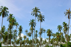 Palm Trees with Blue Sky. Jungle palm trees in the blue sky Royalty Free Stock Photos