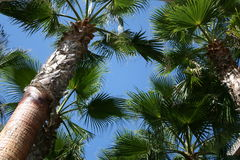 Palm trees and blue sky. Looking up through palm tree fronds to blue skies in daylight Royalty Free Stock Photography