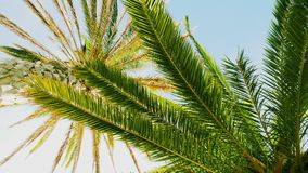 Fronds above 6. Looking past one lot of palm fronds to a crown on a much taller palm tree.  Blue sky behind royalty free stock image