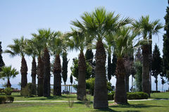Palm trees in blue sky in a park of cotton castle pamukkale, turkey Stock Photography