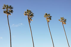 Palm Trees in Blue Sky. Row of four palm trees against a bright blue sky in sunny California Royalty Free Stock Photo