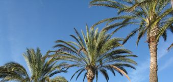 Palm trees and blue sky. Row of tropical palm trees with blue sky background Royalty Free Stock Photography