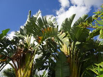 Palm trees in and blue sky Royalty Free Stock Photos