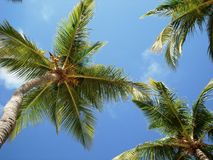 Palm trees in the blue sky Stock Photography