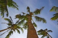 Palm trees in the blue sky. With some hanging fresh coconuts Royalty Free Stock Photo