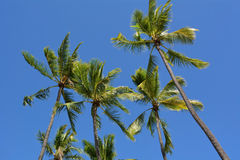 Palm trees in the blue sky Royalty Free Stock Photo