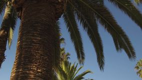 Palm trees and blue sky a sunny day. Low angle view of palm trees with camera movement:Tracking Shot left stock video