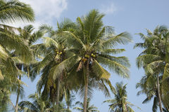 Palm trees in blue sky Stock Images
