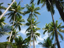 Palm trees. And blue sky, typical sight in the Philippines stock images