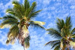 Palm trees on blue sky and white clouds background, palm branches on sky background, silhouettes of palm trees, crowns palms trees royalty free stock images