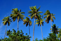 Palm trees and blue skys. A group of palm trees in puerto rico with blue sky background Royalty Free Stock Photos