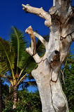 Palm trees and blue skys. A dead tree and palm tree in puerto rico with blue sky background Royalty Free Stock Photo