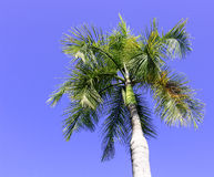 Palm trees in the blue sunny sky Royalty Free Stock Image