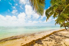 Palm trees in Bois Jolan beachin Guadeloupe. French west indies. Lesser Antilles, Caribbean sea royalty free stock photography