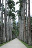 Palm trees at  botanic gardens Rio de Janeiro Brazil. Royalty Free Stock Photography