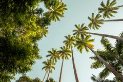 Palm trees in Botanical Garden in Rio de Janeiro, Brazil Royalty Free Stock Photography