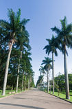 Palm Trees in Botanical Gardens Sao Paulo Royalty Free Stock Photography