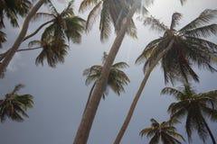 Palm trees, Bottom Bay, Barbados stock photo