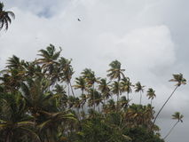 Palm Trees in the breeze on a cloudy day. Tropical palm trees blowing in the wind on a stormy cloudy day Royalty Free Stock Photography