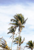 Palm Trees in the Breeze Royalty Free Stock Image