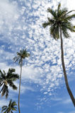 Palm trees and bright blue sky. Four coconut palm trees rise up against a bright blue sky with cottony clouds.  Taken in Miami South Beach, Florida Stock Photo