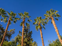 Palm trees, California Royalty Free Stock Photo