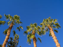 Palm trees, California Stock Photography