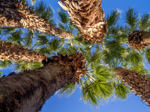 Palm trees, California Royalty Free Stock Photography