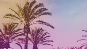 Palm trees calmly waving in the wind. Vintage filter effect of palm trees blowing in the wind stock video footage