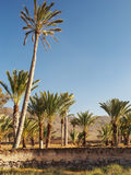 Palm trees at the Canary Islands, Fuerteventura Royalty Free Stock Photography