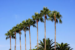 Palm trees, Cannes. Palm trees against the blue sky, Cannes, France Stock Photo