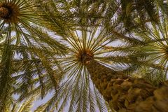 Palm trees canopy in Al Ain oasis, United Arab Emirates stock photos
