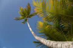 Palm Trees. On a Caribbean beach Royalty Free Stock Photography