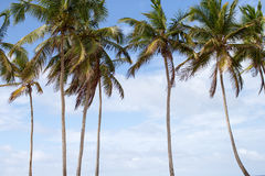 Palm Trees in Caribbean Beaches Stock Photography