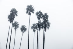 Palm trees. A circle of palm trees in the fog Stock Photography