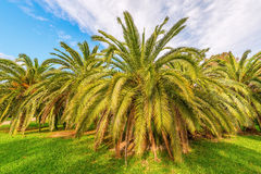 Palm trees in the city park Stock Image