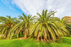 Palm trees in the city park. Stock Photography
